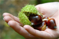 chestnuts_hatfield_forest1