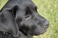 duke_puppy
